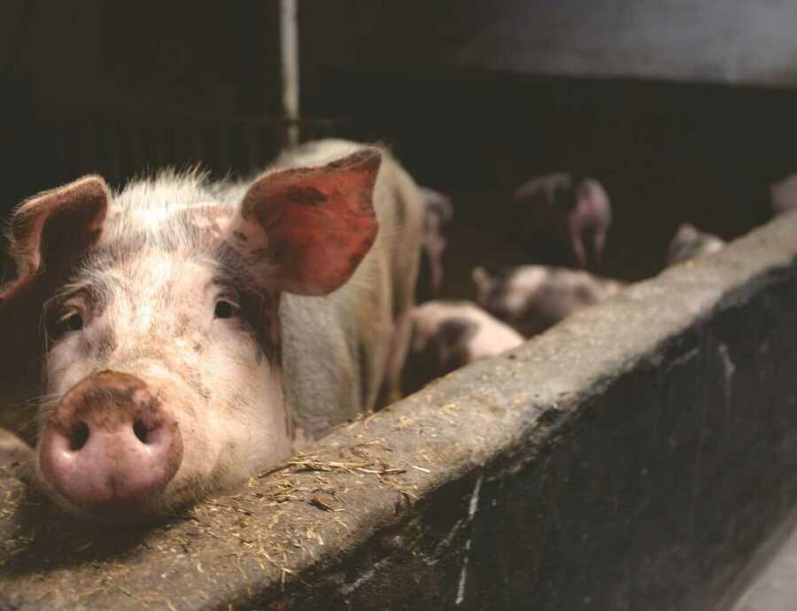 Antibioticagebruik bij dieren moet 50% omlaag tegen 2030